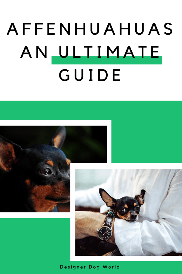 What is an Affenhuahua? An Ultimate Guide