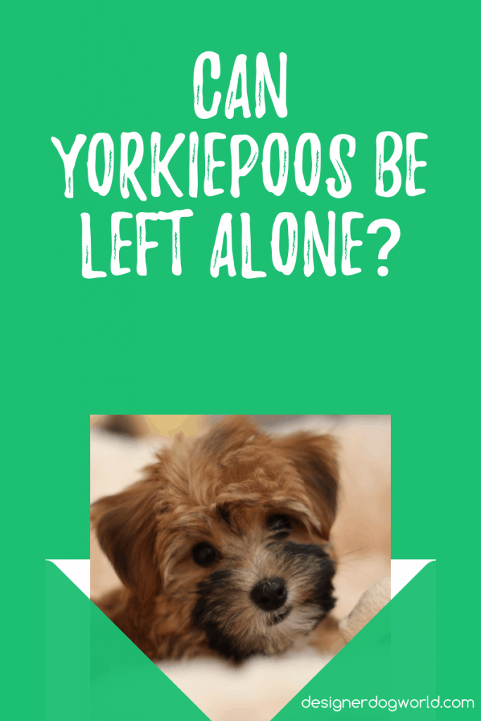 Can Yorkiepoos Be Left Alone