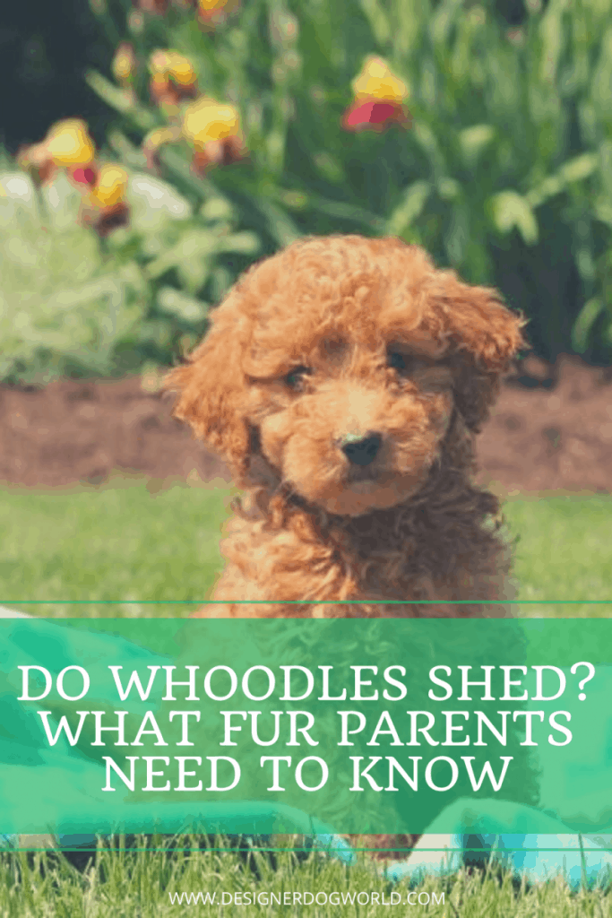 Do Whoodles Shed?