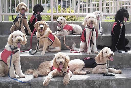 various labradoodle service dogs