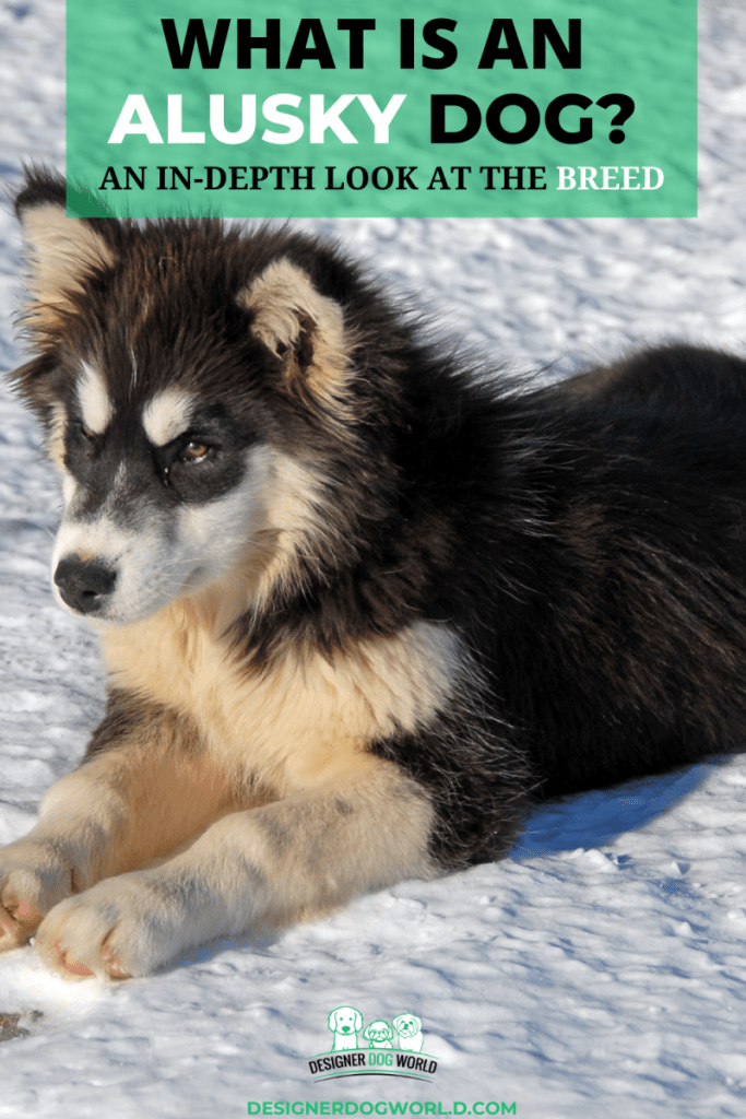 What is an Alusky Dog? An In-Depth Look at the Breed