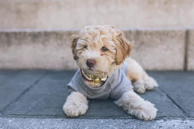cute cavapoo puppy in streets of nyc