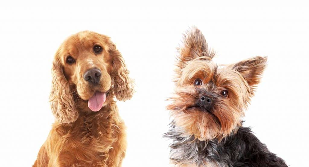 cocker spaniel and yorkshire terrier