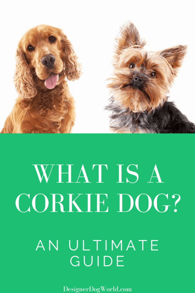 What is A Corkie Dog? An Ultimate Guide