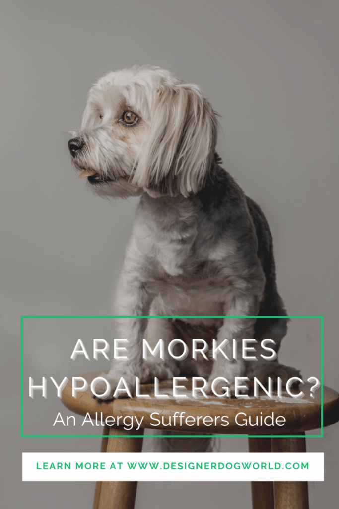 Are Morkies Hypoallergenic? An Allergy Sufferers Guide