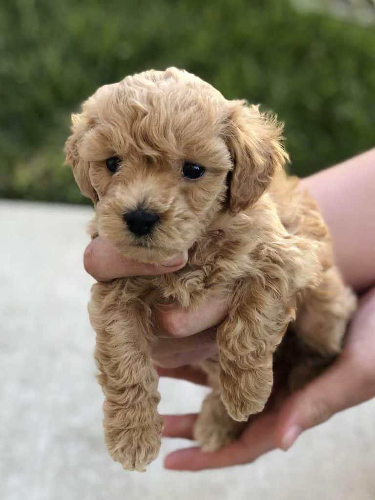 Bolonoodle puppy