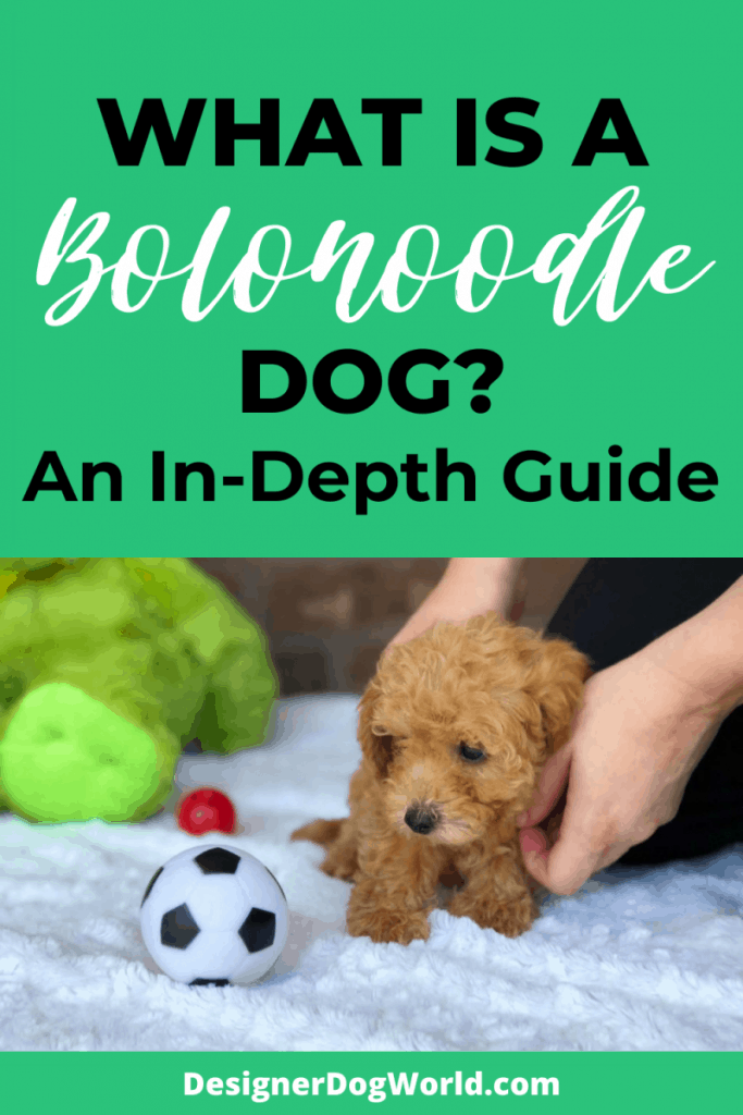 What is a Bolonoodle Dog? An In-depth Guide