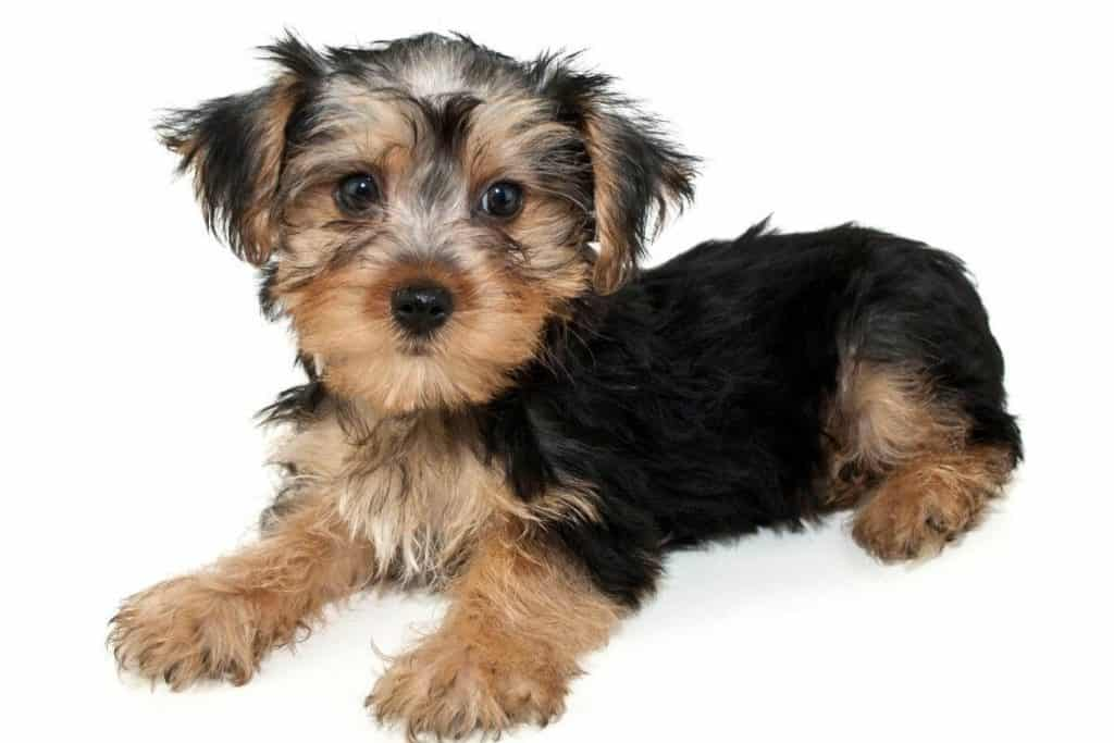 Why Do Morkies Change Color