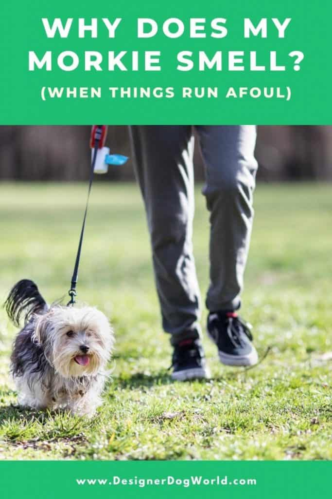 Why Does My Morkie Smell? When Things Run Afoul