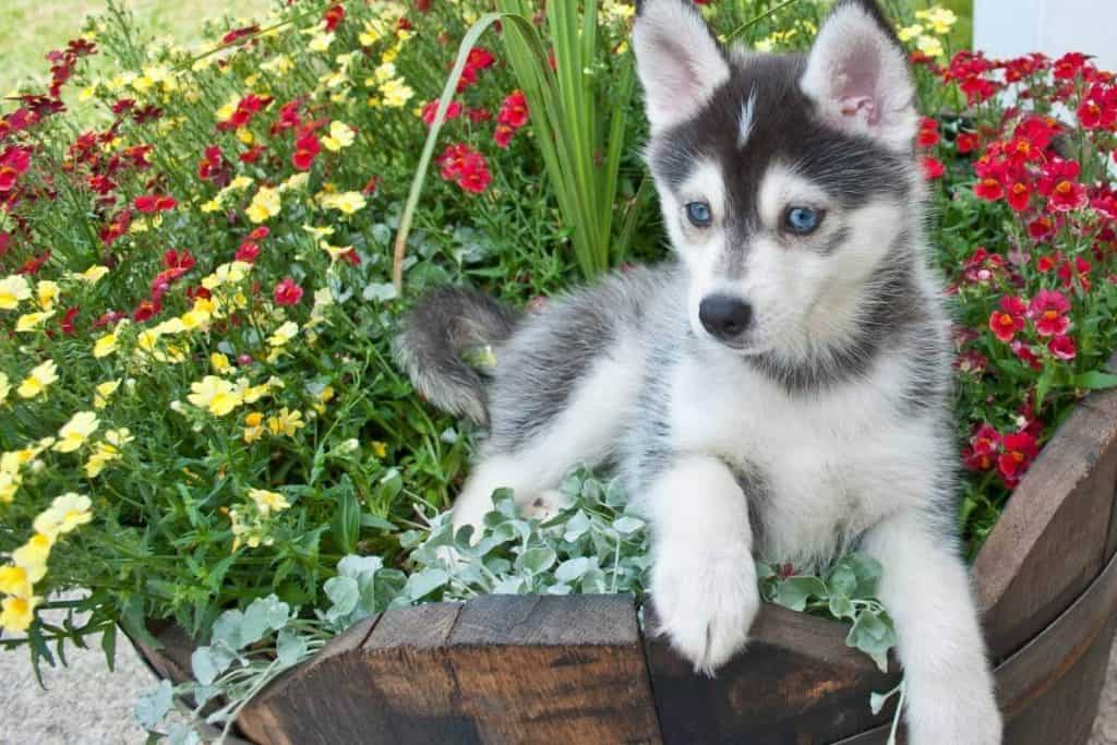 A pomsky in the grass
