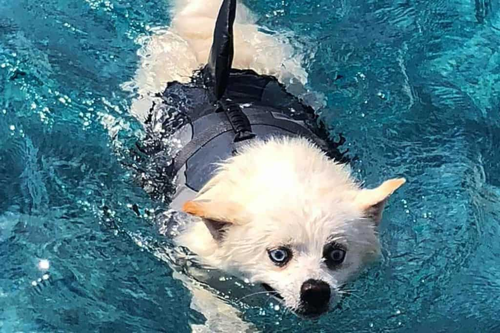 A pomsky swimming in pool with vest