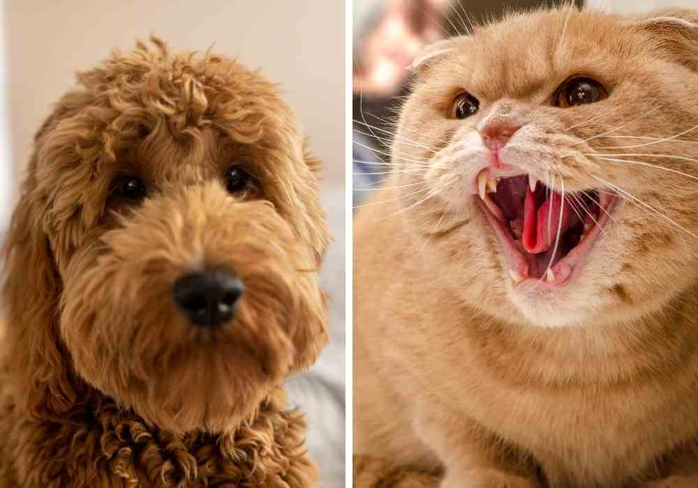 a goldendoodle with a cat