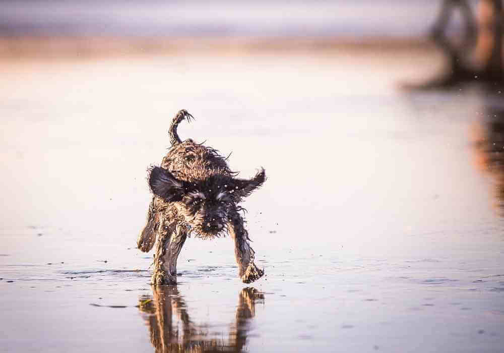 A schnoodle on the beach