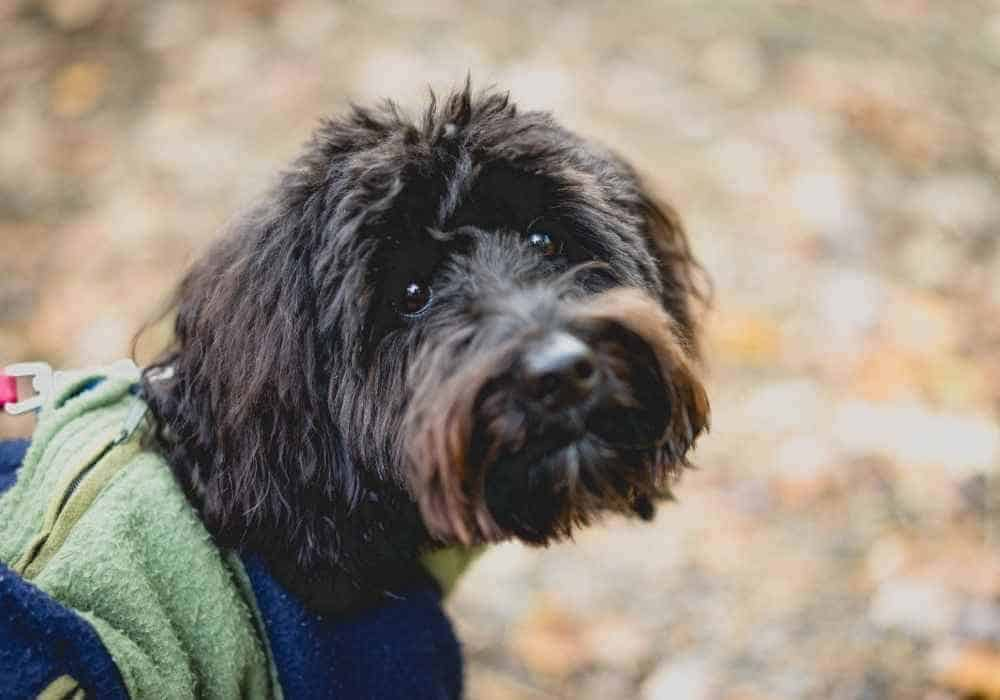 image of an aussiedoodle