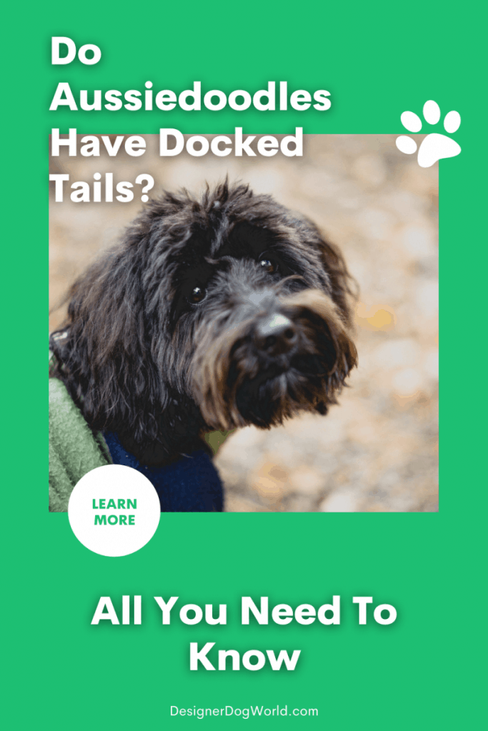 Do Aussiedoodles Have Docked Tails? [All You Need To Know]