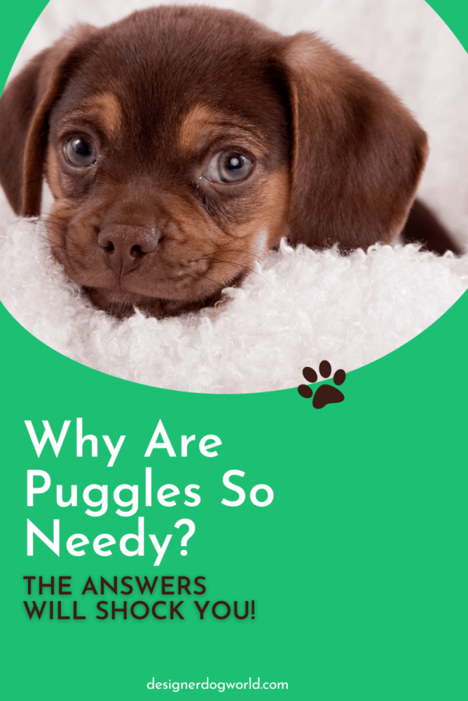 Why Are Puggles So Needy? [The Answers Will Shock You!]