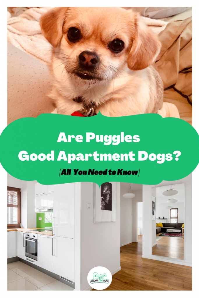 Are Puggles Good Apartment Dogs