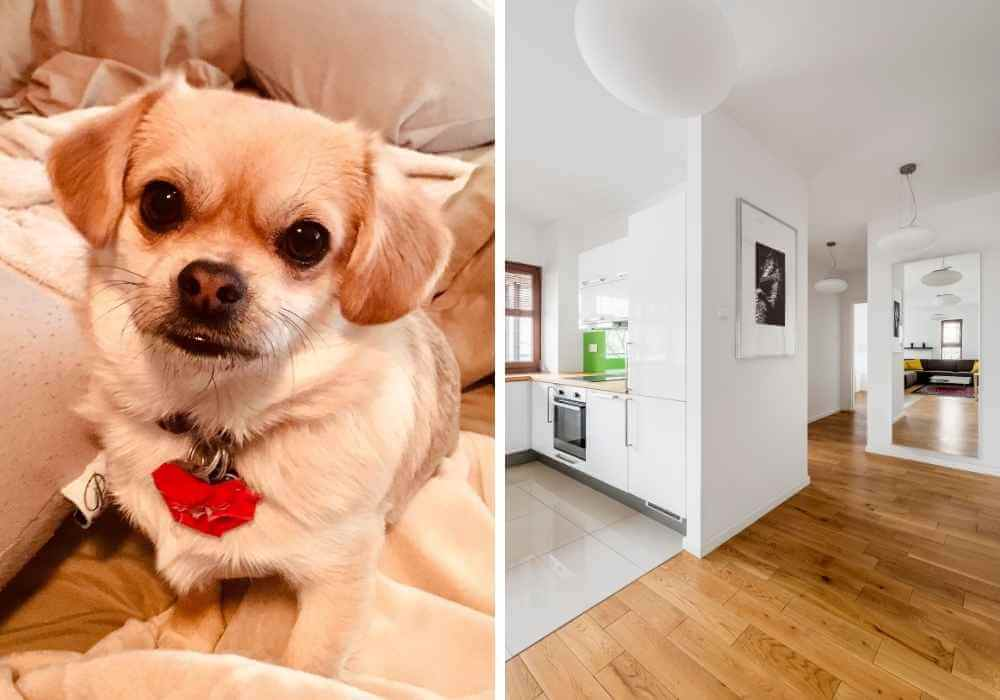 Puggle in apartment setting