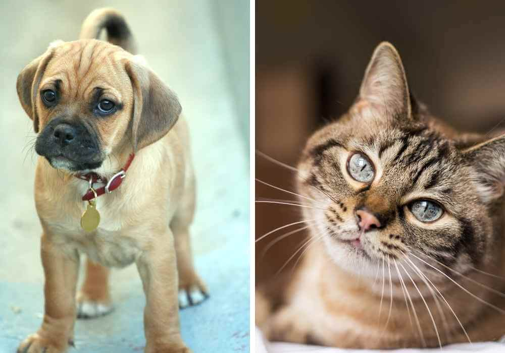 A puggle and a cat