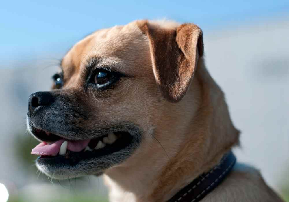 beige and white colored puggle