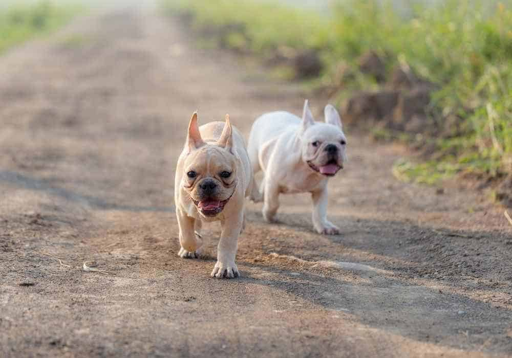 Two French Bulldogs Running
