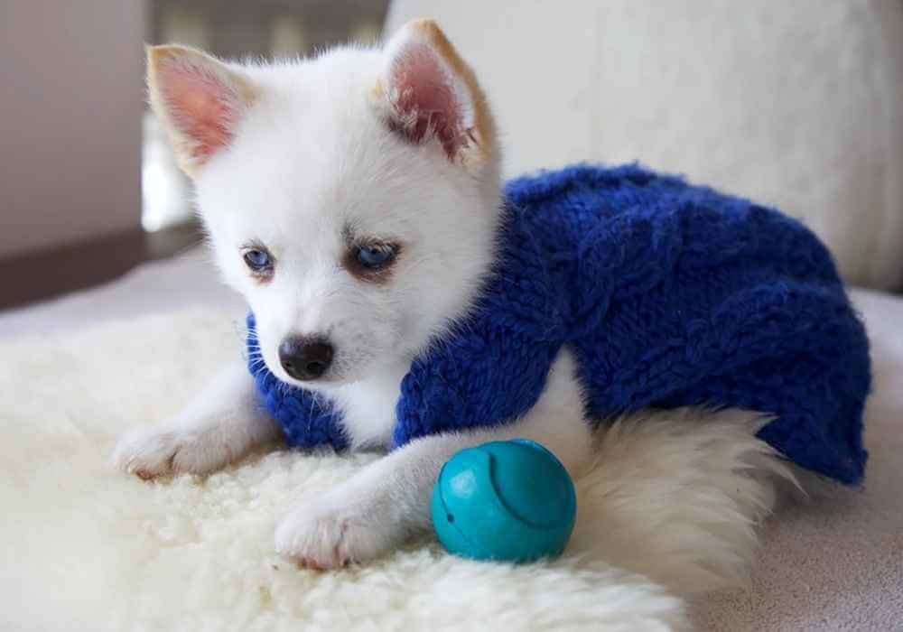 Are Pomskies Easy To Train