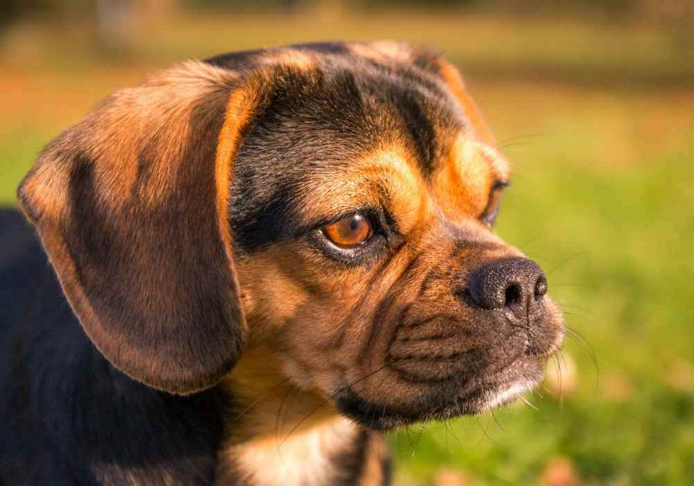 How much do Puggles cost in 2021