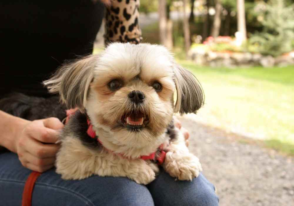 Are Morkies Good Family Dogs