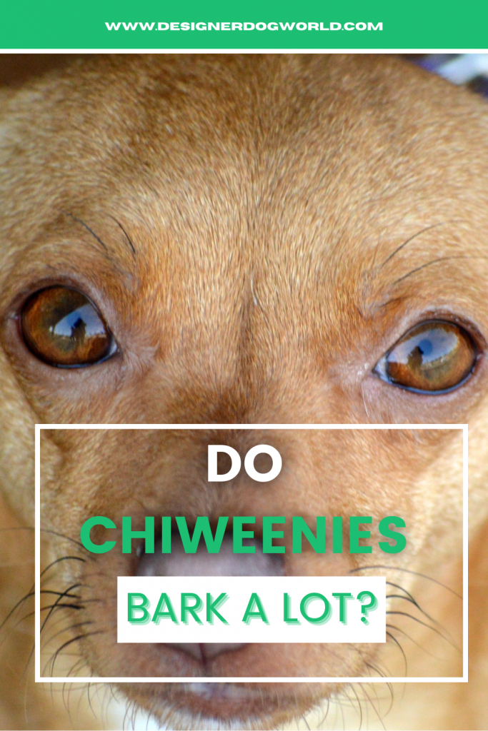 Pin of a Chiweenie leading to post answering question if chiweenies bark a lot