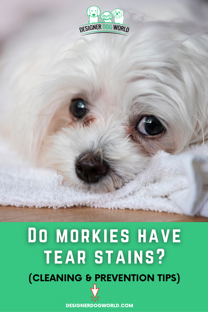 Do Morkies Have Tear Stains? (Cleaning & Prevention Tips)