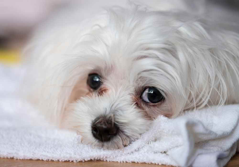 do morkies have tear stains