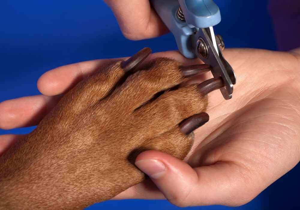 a chiweenie getting groomed