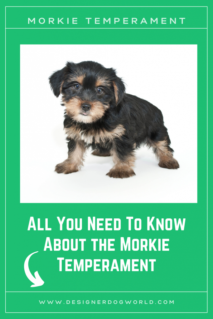 The Morkie Temperament [All You Need To Know]