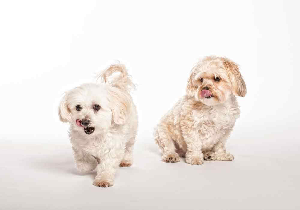 Why Do morkies lick so much