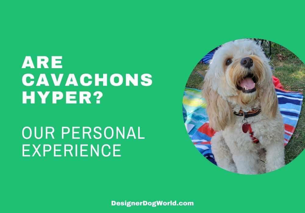 Are Cavachons Hyper