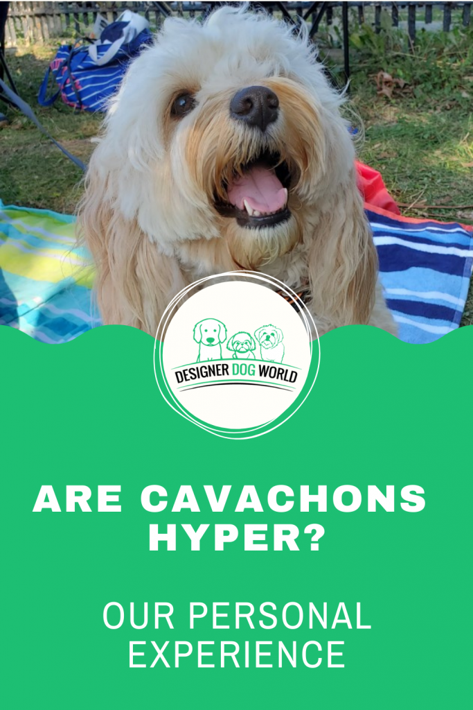 Are Cavachons Hyper? [Our Personal Experience]