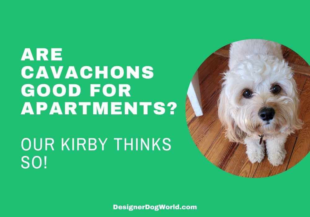 are cavachons good for apartments