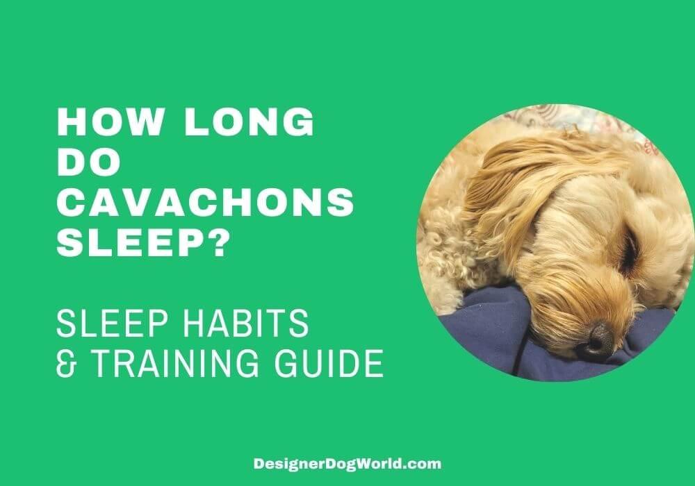 How Long Do Cavachons Sleep