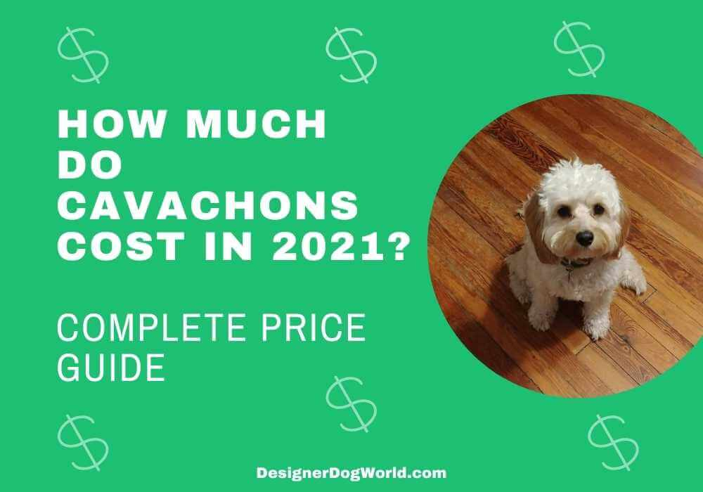 how much do cavachons cost in 2021