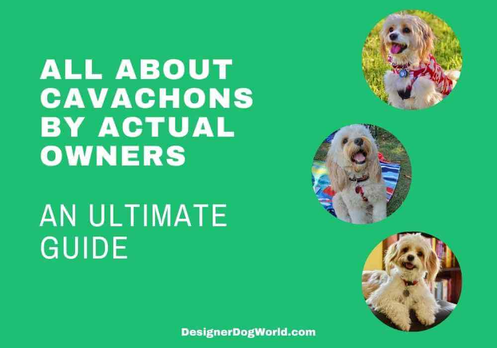 All about cavachons the ultimate guide