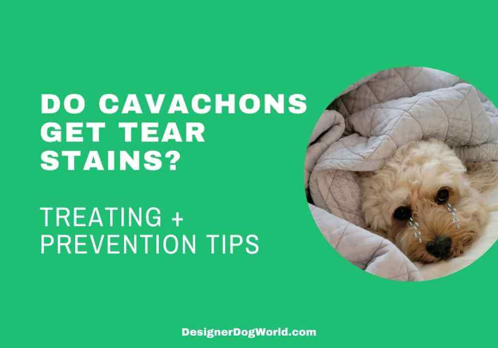Do cavachons get tear stains treating and preventing them