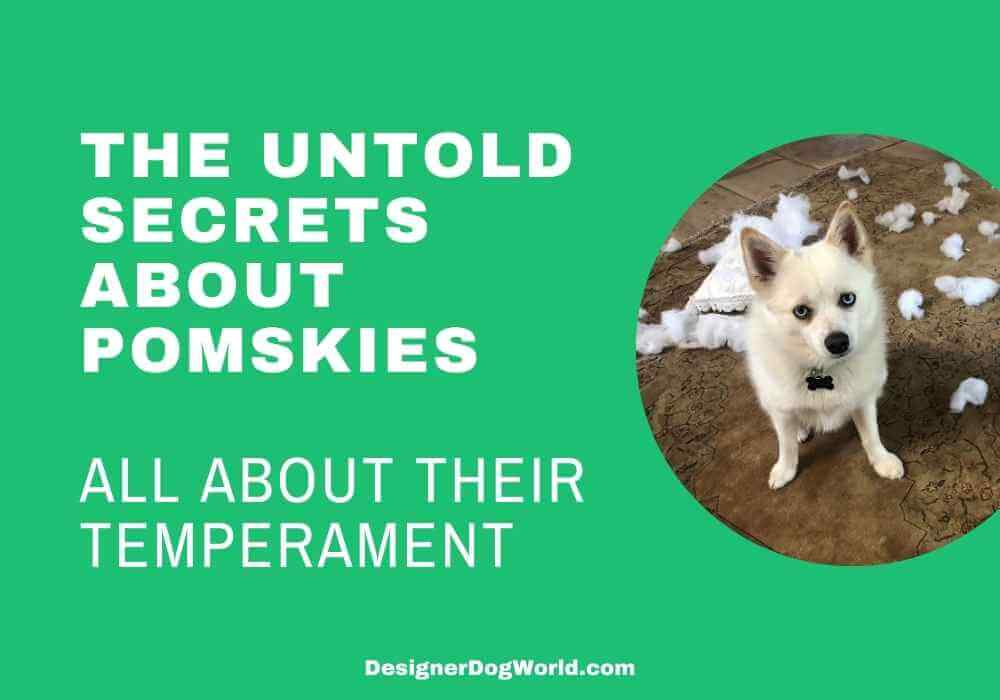 All About Pomsky temperament and behavior
