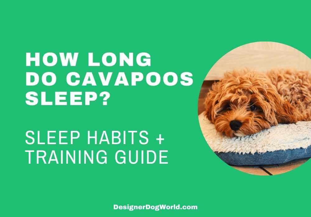how long do cavapoos sleep