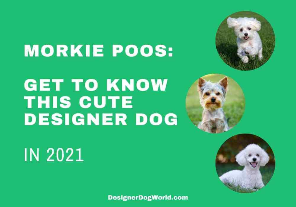 An Ultimate Guide to Morkie Poos