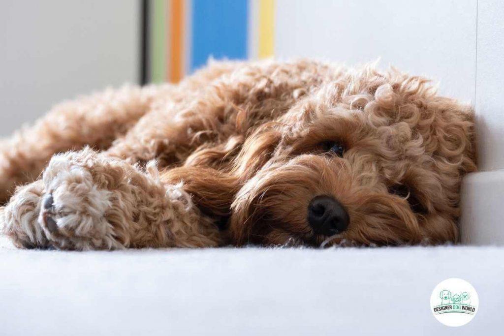 sleeping cavapoo