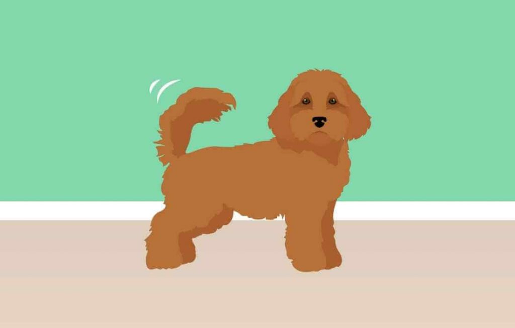 Do Cavapoos Have Docked Tails