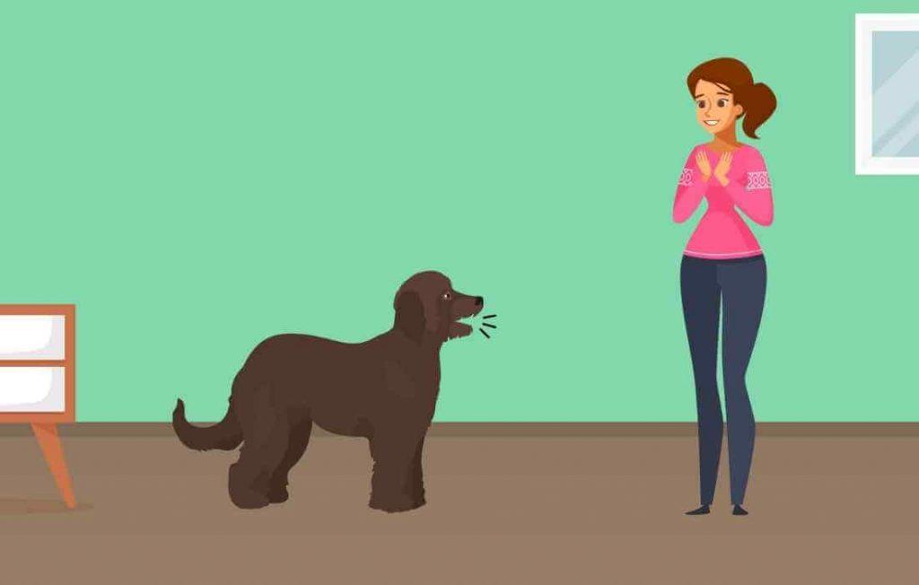 A Goldendoodle Barking at owner