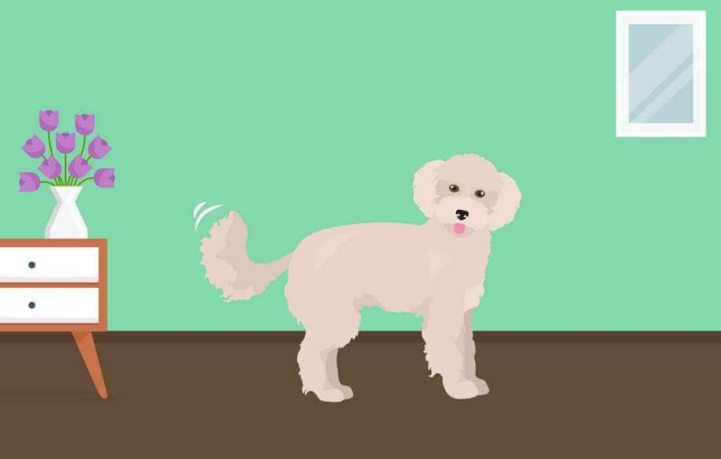 Maltipoo wagging his tail