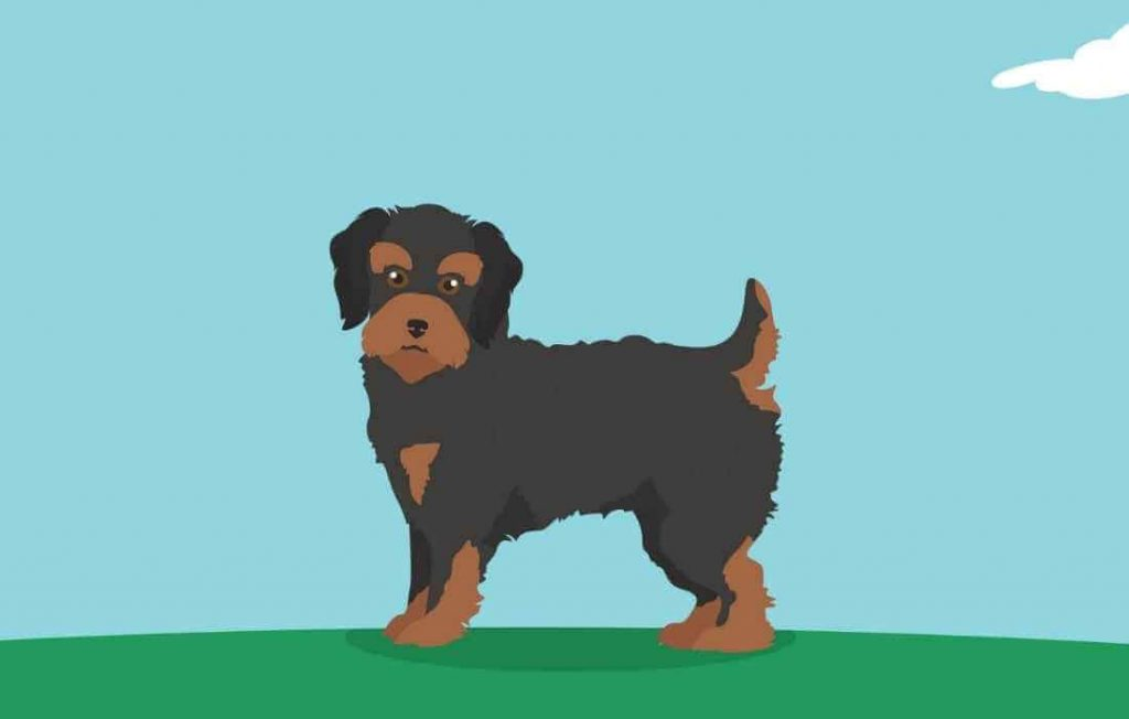 A Yorkiepoo with highlighted tail