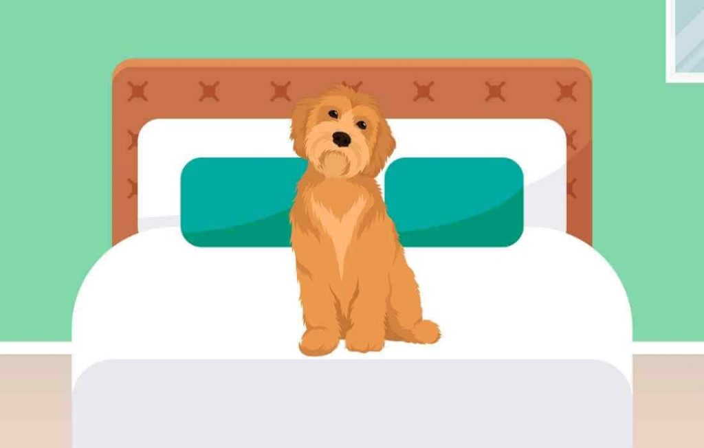 A Goldendoodle on a bed